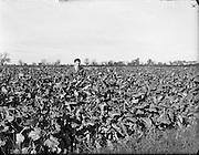29/10/1959<br /> 10/29/1959<br /> 29 October 1959<br /> Root crops at Albert Agricultural College, Glasnevin, Dublin. Special for Townsend-Flahavan Seeds Ltd., Kilmacthomas, Co. Waterford. Gentleman may be Mr. G. Kiely, B.Agr.Sc., of Townsend - Flahavan.