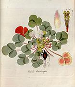 Woodsorrel (Oxalis breviscapa). Illustration from 'Oxalis Monographia iconibus illustrata' by Nikolaus Joseph Jacquin (1797-1798). published 1794
