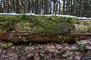 Crust fungi Asterodon ferruginosus growing on fallen dead spruce (Picea abies), forests around River Amata, near Skujene, Latvia Ⓒ Davis Ulands | davisulands.com