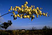 Yucca Blooms on dunes - Grayton Beach S.P., Florida
