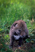 A 9 day old coyote (Canis latrans) puppy in the Willamette National Forest, Oregon.