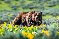 Twenty Four year old Grizzly 399 enjoying the wildflowers of spring. <br /> <br /> Contact for custom print options - dh@theholepicture.com