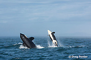 southern resident orca, or killer whale, Orcinus orca, juvenile and adult breaching together in a double breach, off southern Vancouver Island, Strait of Juan de Fuca, British Columbia, Canada ( Eastern North Pacific Ocean ); #1 in sequence of 5
