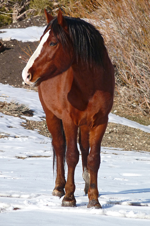 A mustang stallion keeps a wary eye on his territory while posing for this portrait amid a winter scene at Cold Creek, Nevada.  Vertical image.