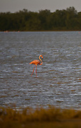 Coro_VEN, Venezuela...Parque Nacional dos Medanos de Coro no Estado Falcon, Venezuela. Na foto um Flamingo Andino  (Phoenicopterus andinus)...Medanos de Coro National Park in Coro State, Venezuela. In the photo an Andean Flamingo  (Phoenicopterus andinus)...Foto: JOAO MARCOS ROSA / NITRO