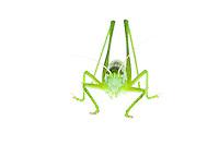 IFTE-NB-007426; Niall Benvie; Tettigonia viridissima nymph; grasshopper; Europe; Austria; Tirol; Fliesser Sonnenhänge; insect arthropod invertebrate; horizontal; high key; green white; controlled; male; adult; grassland upland meadow; 2008; July; summer; strobe backlight; Wild Wonders of Europe Naturpark Kaunergrat