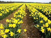 A4TR9E Cultivated field of daffodil flowers Bodham Norfolk England