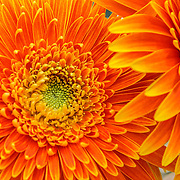 Orange flower macro, Split, Croatia (July 2007)