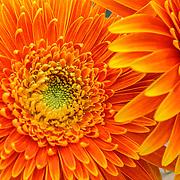 Orange flower macro, Split, Croatia (July 2007)