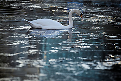 © Licensed to London News Pictures. 31/01/2019. London, UK. A swan swims through frozen water on the canal network in Little Venice, West London, as temperatures in the capital drop to the lowest of the winter so far. Photo credit: Ben Cawthra/LNP