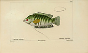 Colisa from Histoire naturelle des poissons (Natural History of Fish) is a 22-volume treatment of ichthyology published in 1828-1849 by the French savant Georges Cuvier (1769-1832) and his student and successor Achille Valenciennes (1794-1865).