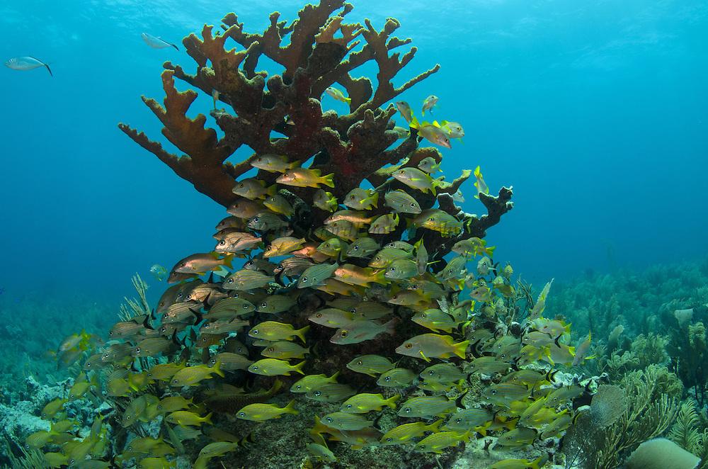 Bluestriped Grunt (Haemulon sciurus), French Grunt (Haemulon flavolineatum) & Schoolmaster (Lutjanus apodus) in Elkhorn Coral (Acropora palmate)<br /> Hol Chan Marine Reserve<br /> near Ambergris Caye and Caye Caulker<br /> Belize<br /> Central America