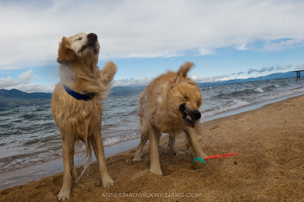 Golden retrievers shake off the water after a swim in Lake Tahoe.