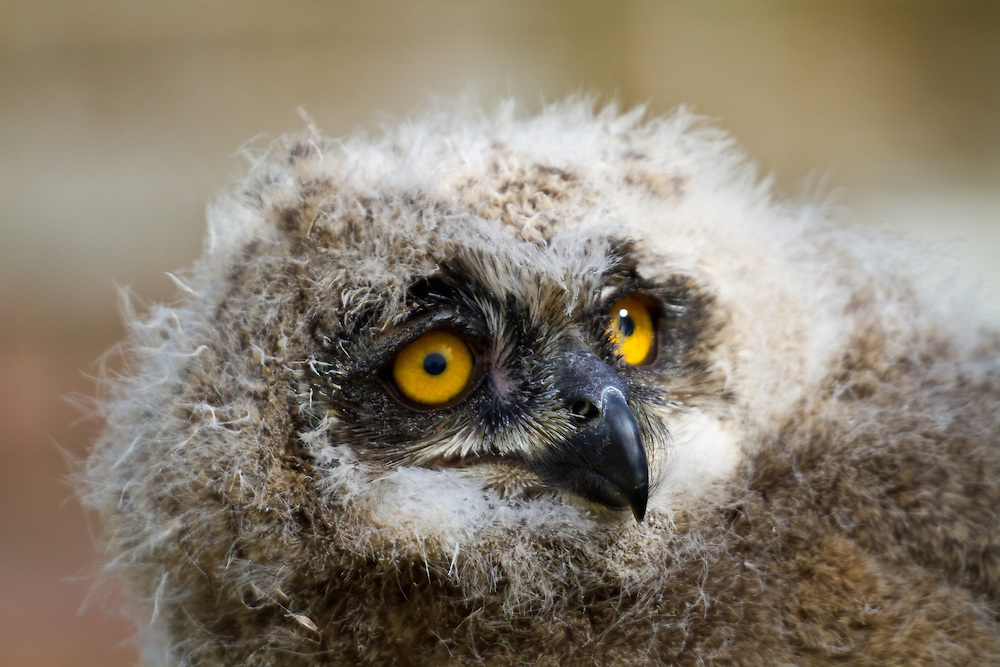 European Eagle Owl Chick