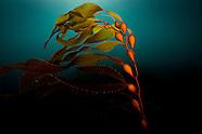 Brown algae (Ochrophyta)