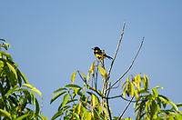 Black-cowled Oriole, Icterus prosthemelas, perched in a tree in Tortuguero National Park, Costa Rica