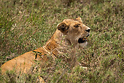 Alert Lioness (Panthera leo) waiting in the grass. Photographed at Serengeti National Park, Tanzania