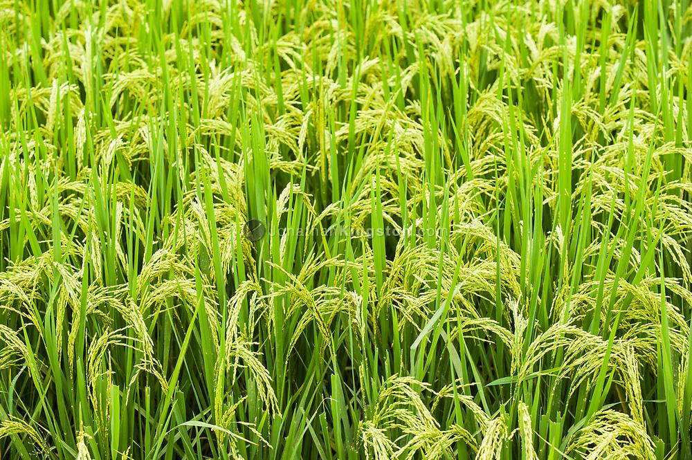 Close up of a field of rice near Yangshuo, China.