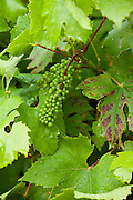 Young green grapes developing on the vine, in English country garden, UK