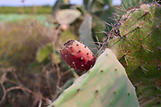 Fruit and plant of the Opuntia ficus-indica Cactus known as sabres or Tzabar an Israeli symbol. With blue sky background. Photographed in Israel in November