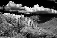 Saguaro cactus in the dessert of Arizona