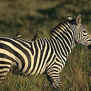 Burchell's Zebra, (Equus burchelli) Adult with Yellow Oxpecker birds on back. Kenya. Africa