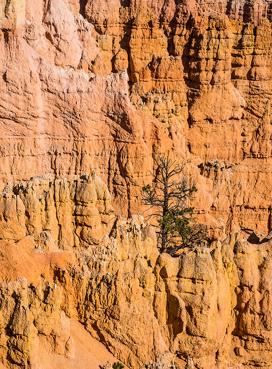 A detail of a lone tree growing up between the hoodoo rock formations of Bryce Canyon National Park, Utah, USA.