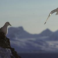 Kittiwake gulls land at cliffy rookery by King's Fjord, near Ny Alesund.