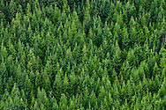 Silver Fir and Noble Fir  (Abies procera) forest in Tahoma state forest in the Washington state Cascade Mountain Range.
