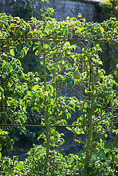 Espaliered Pear 'Concorde' trained on a metal structure in the orchard at West Dean Gardens, West Sussex. Pyrus communis