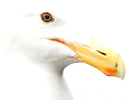 high key California Gull closeup of eye and beak with very white feathers