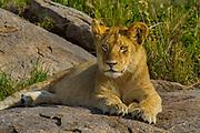Lion cub, part of a pride, Serengeti National Park, Tanzania.