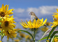 Finch In A Flower, A Cute Little Bird, The Female House Finch In A Compass Flower, Carpodacus mexicanus, Photoshop Composite