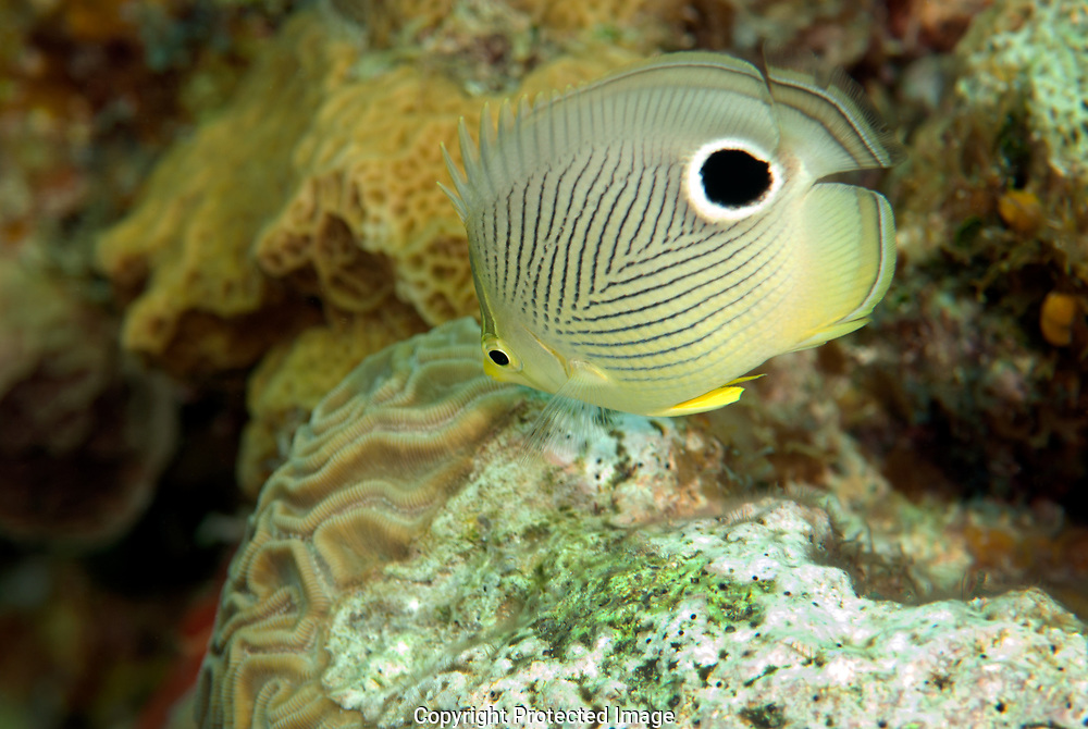The prominent white-rimmed black spot on the rear of the Butterflyfish looks like a huge eye, warding off would be predators.