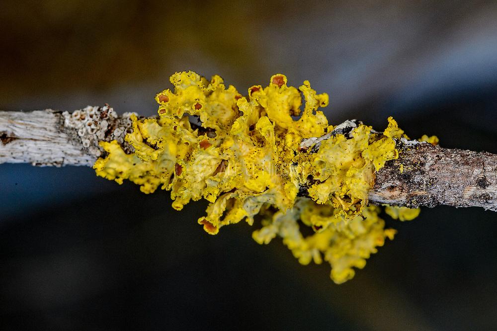 Vulpicida juniperinus from western Norway.
