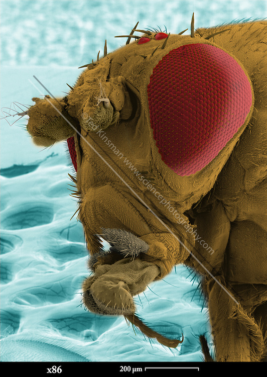 SEM of a mutant fruit fly. Scanning Electron Micrograph (SEM) of the head of a mutant fruit fly (Drosophila melanogaster). This mutant has abnormal antena due to the ?ant? mutation.  Fruit flies are widely used in genetic experiments, particularly in mutation experiments, because they reproduce rapidly and their genetic systems are well understood.