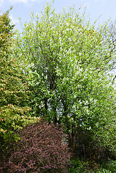 The woodland garden at Glebe Cottage with Prunus padus (Bird Cherry) and Cercidiphyllum