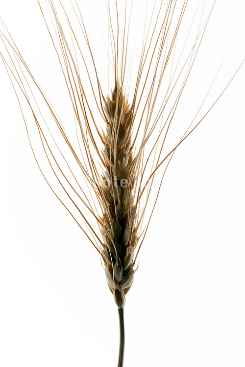 close up of a wheat head