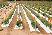 Commercial Tomato Farm