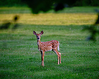 Alpha fawn -- who me. Image taken with a Fuji X-T3 camera and 200 mm f/2 lens