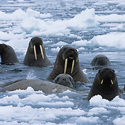 Walrus group in the waters off of Baffin Island, Canada.
