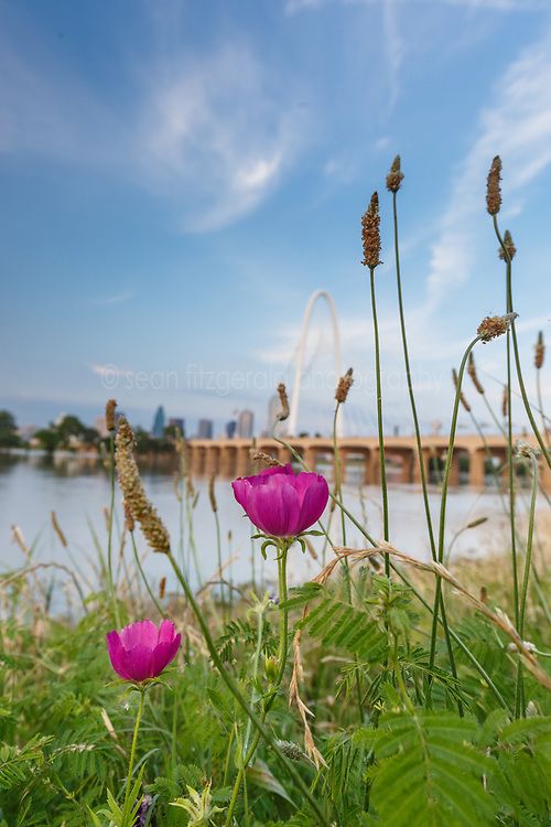 Winecup wildflowers and Margaret Hunt Hill Bridge near Trinity River at flood stage, Dallas, Texas, USA