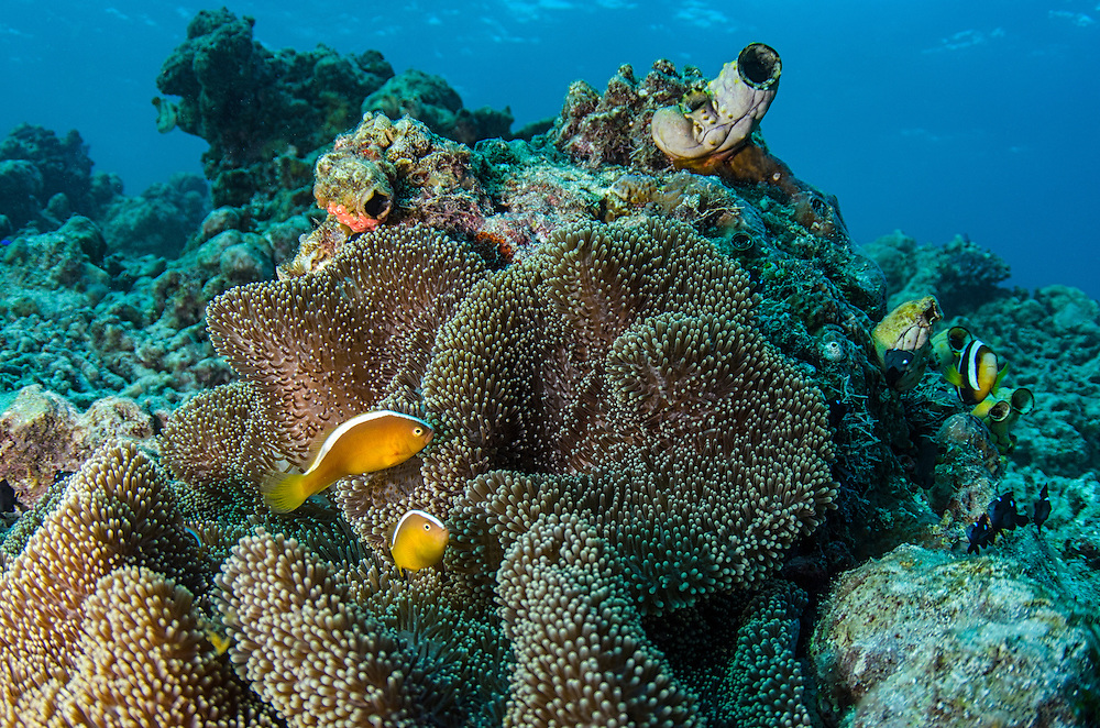 Orange Anemonefish (Amphiprion sandaracinos)<br /> Cenderawasih Bay<br /> West Papua<br /> Indonesia