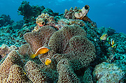 Orange Anemonefish (Amphiprion sandaracinos)<br /> Cenderawasih Bay<br /> West Papua<br /> Indonesia
