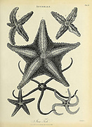 Asterias is a genus of the Asteriidae family of sea stars. It includes several of the best-known species of sea stars, including the (Atlantic) common starfish, Asterias rubens, and the northern Pacific seastar, Copperplate engraving From the Encyclopaedia Londinensis or, Universal dictionary of arts, sciences, and literature; Volume II;  Edited by Wilkes, John. Published in London in 1810