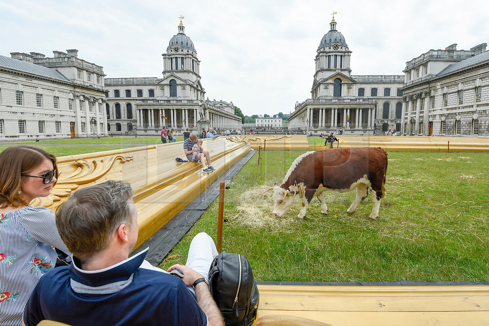 "© Licensed to London News Pictures. 23/06/2019. LONDON, UK.  One of a pair of Friesian cows grazes in a pasture at the Old Naval College as part of a live real life painting called ""Pasture with cows"" by the Captain Boomer Collective. The artwork is part of the Greenwich Fair, itself part of the Greenwich+Docklands International Festival.  The festival runs until 6 July 2019.  Photo credit: Stephen Chung/LNP"