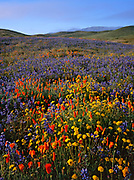 Poppies, Lupine, Goldfields and Hills, Carrizo Plain National Monument, California