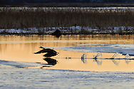 Mamakating, New York - A Canada goose takes off at the Bashakill Wildlife Management Area on March 24, 2015.