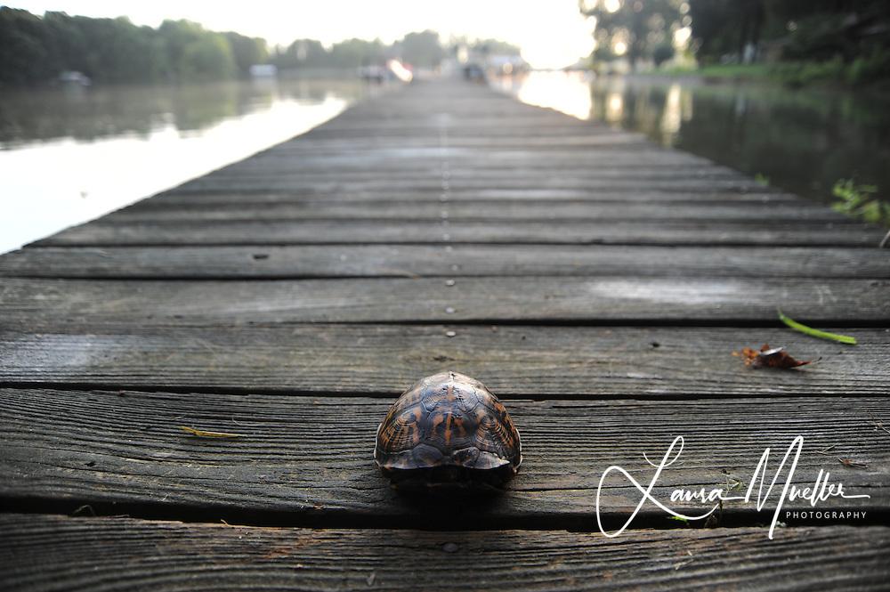 Eastern Box Turtle. Lake Norman, North Carolina.<br /> photo © Laura Mueller 2010