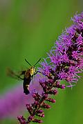 Hummingbird moth gathering nectar from Blazing Star - Mississippi